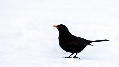 blackbird Bird gard